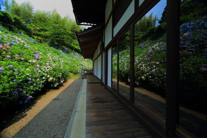 """堂宇を取り巻くように咲紫陽花の景色は、正に""""花浄土""""。山の緑と相まって、この世のものとは思えない程の美しさです。"""