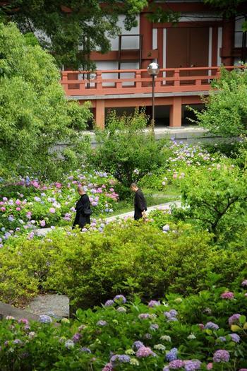 """夏の花が開く頃は、緑も眩しい季節。 この時分に旅をするのなら、ぜひ京都で、あなたらしい""""花散歩""""を楽しんで下さい。  あなたが好む、都ならではの""""花景色""""に、きっと出逢えるはずです。 【「智積院」の紫陽花】"""