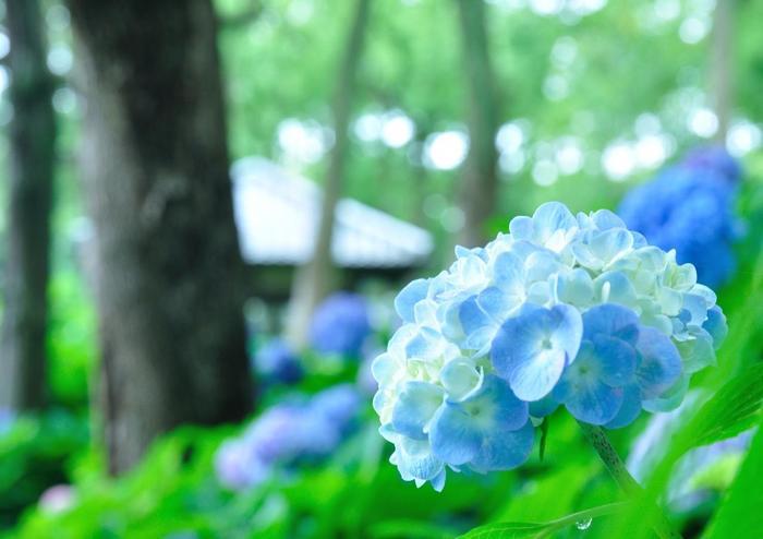 【「藤森神社」の紫陽花】