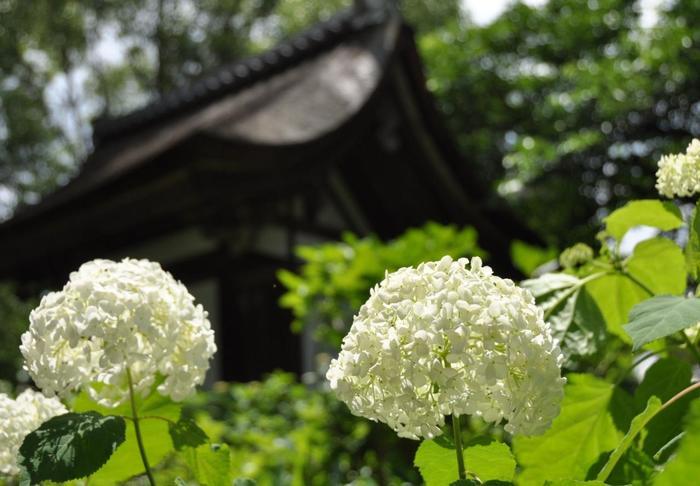 「藤森神社」の紫陽花は、柏葉アジサイやアナベル等、種類も様々で色とりどり。株数は、3,500にも及びます。「紫陽花苑」は、季節限定で開苑される花の園です。例年6月上旬から約一ヶ月のみ開かれています。詳細は、公式サイトへ。