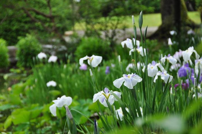 「アヤメ」と「花菖蒲」と「杜若」の見分け方ですが、生育地、花の模様を観察すると識別することができます。 乾いた場所に育つのが「アヤメ」。水辺や湿地に育つのが「杜若」と「花菖蒲」です。 【「勧修寺」の庭園内の水辺に咲く花菖蒲】