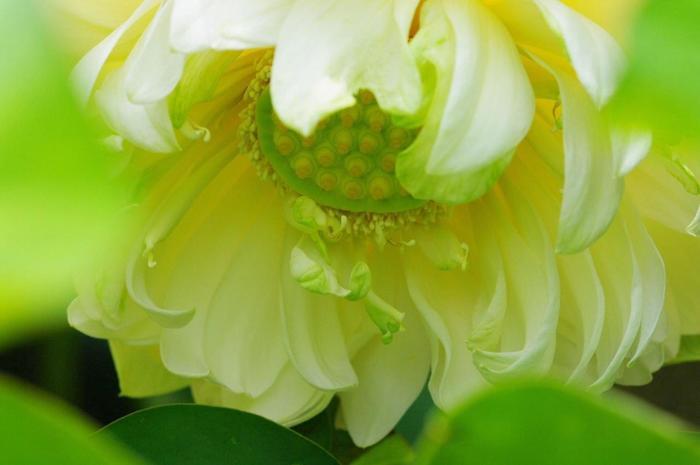 境内に咲く蓮の種類は、70品種にも及び、色とりどり。フォトジェニックな蓮の花と出逢えます。