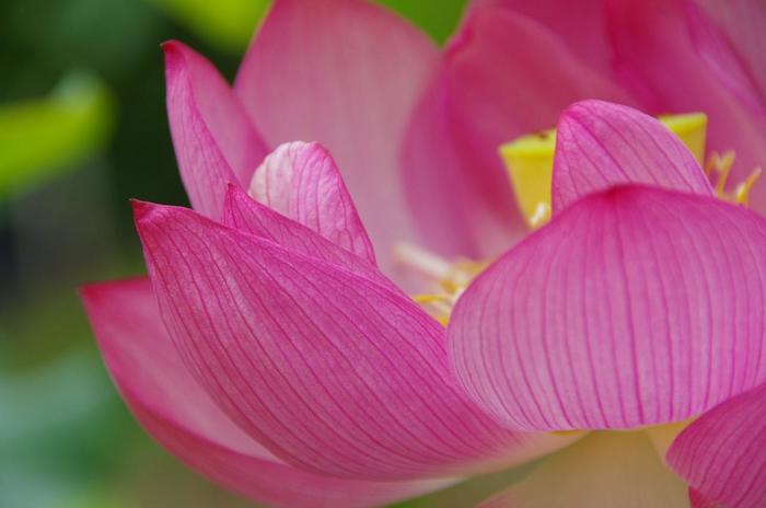 """それは、泥の中から美しい花を咲かせる""""蓮の花""""の姿が、""""仏教の教え""""に通じるため。念仏における「南無妙法蓮華経」とは、美しい蓮の花のような仏教の教えを信じて守りますという意味があります。"""