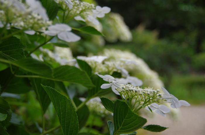 """「渦紫陽花」や「柏葉紫陽花」等、紫陽花の種類も多く、また花菖蒲も様々。緑眩しい季節にぜひ訪れて欲しい""""花の寺""""です。【画像は「ガクアジサイ」】"""