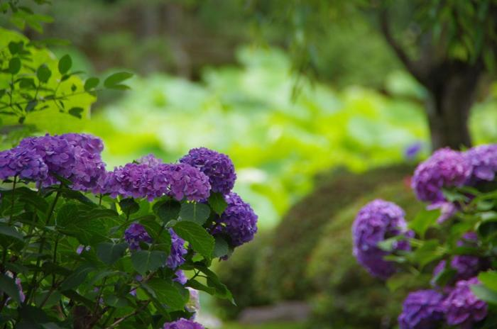 【「法金剛院」に咲く紫陽花】