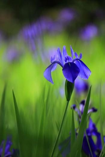 「杜若」は、光琳の『燕子花図屏風』で知られるように、古くから日本で愛でられてきた花。水辺の湿地に生息し、青紫や白色の花をつけます。 【大田神社「大田の沢のカキツバタ群落」に咲く杜若】