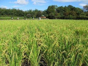 園内には、田んぼもあります。「井田(せいでん)」は、かつて園内に広がっていた田畑の名残。もち米が育てられています。