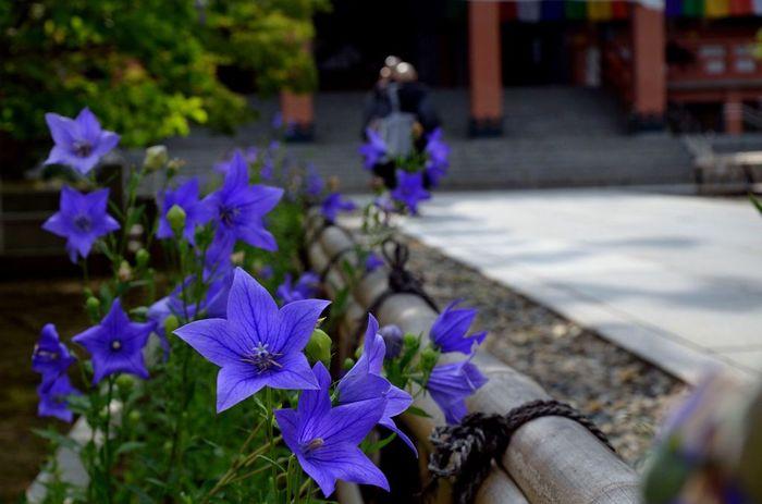紫陽花を先に紹介しましたが、智積院では、桔梗を象った寺紋を用いているように、桔梗がシンボル。 智積院は、かつて祥雲寺の寺地であった場所に建つ寺院ですが、その祥雲寺建立に尽力した加藤清正の功績を称える意味で、清正の家紋である桔梗を寺紋としています。開花時期になると、境内の此処そこで咲いていますが、一番の見所は、金堂へ続く参道の両脇です。