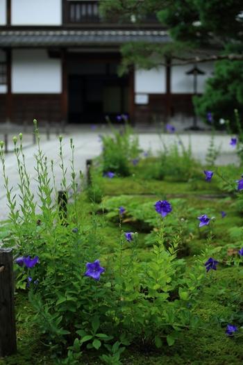また、「桔梗」の名所としても有名で、時期になると、園路や門の傍らに「桔梗」が次々と咲き開きます。濃紫の桔梗と、禅寺織りなす景色は、凛として清々しく、京都ならではの情景です。