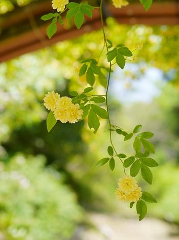モッコウバラはトゲのない品種がほとんどなので、小さいお子さんのいるお家でも気軽に楽しむことができますね!