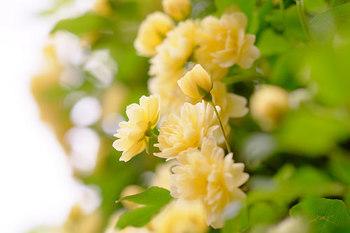 ◆八重の黄モッコウ◆ クリーム色に近い黄色で、ちょっとくすんだ柔らかい色味が黄モッコウの特徴でもあります。やさしい印象で可愛らしい♪