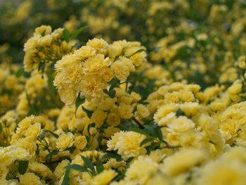 苗を鉢植えする場合は、苗よりふた回りほど大きな鉢と水はけのいい土を用意。また、地植えの場合はうしろにフェンスを立て、育つスペースを広めにとると大きく育ちます。