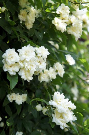 ◆八重の白モッコウ◆ 香りは白モッコウのほうがあるんです!花数は黄モッコウよりも少なめですが、それゆえにグリーンの葉の美しさが映えるんですよ♪