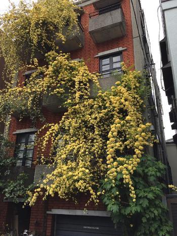 アパートのベランダからモッコウバラが下に垂れ下がる姿はまさに圧巻!