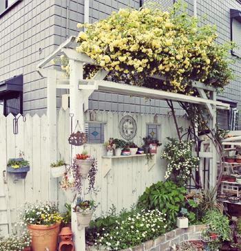 こんもりとしたモッコウバラ。フェンスに這わせるのもいいですが、モッコウバラも見上げるというのも風情があります。ナチュラルな雰囲気のお庭によくマッチしていますね。