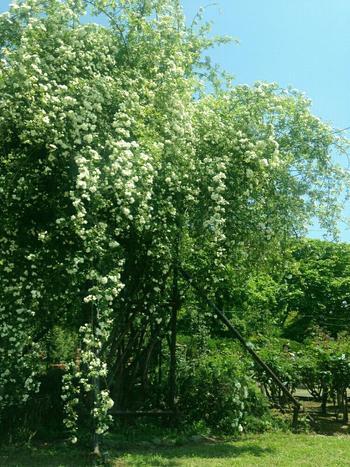 一本の大きな木のように仕立てて。下垂させるとボリュームのある存在感抜群のモッコウバラに!
