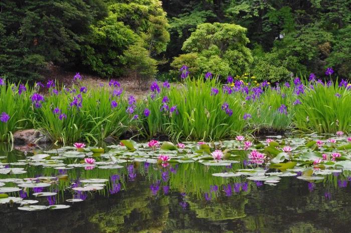緑豊かな「勧修寺」は、隠れた花の名所。梅や桜はもちろんのこと、5月から夏にかけては、藤、杜若、花菖蒲、睡蓮、半夏生、蓮と次々と咲き継ぎ、豊かな花景色を満喫できます。【画像は、氷室池に咲く杜若と睡蓮。】