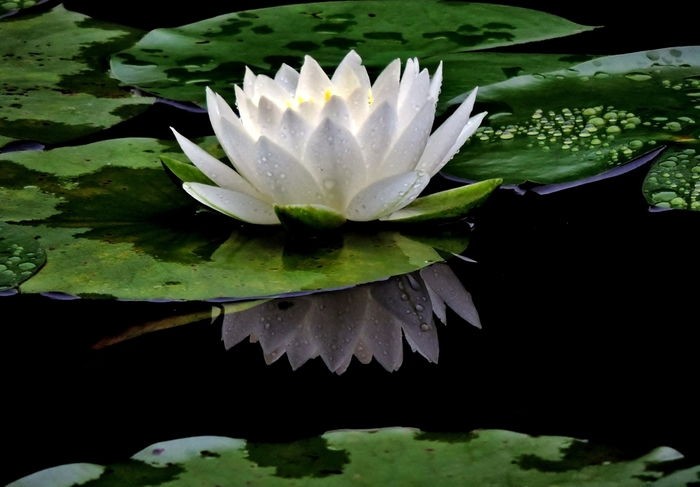 睡蓮は、水底に根を張り、水面に円形の葉と花を広げる抽水植物です。自生種や園芸種があり、品種改良も進んでいるため、多くの種類の睡蓮があり、花色も花姿も様々です。見頃も長く、京都では大体5月下旬から8月位です。【「平安神宮」の睡蓮】