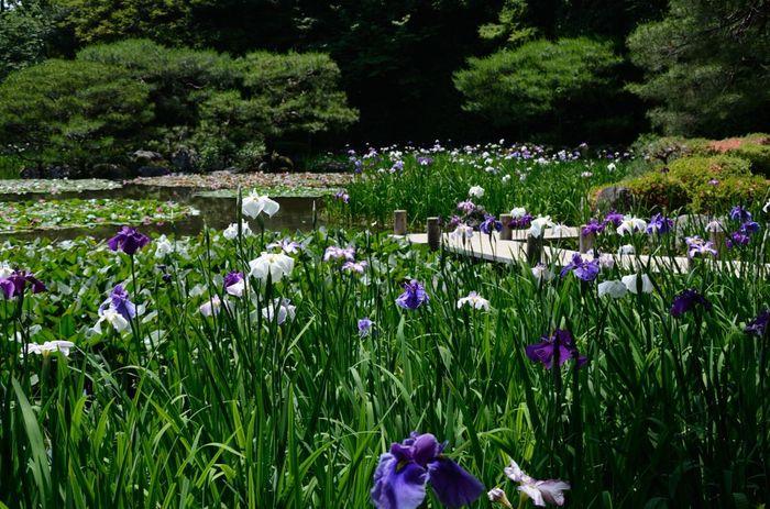 """丹塗の大鳥居や宮殿様の大極殿が印象的な「平安神宮」。 社殿を囲む「神苑」は、近代日本を代表する作庭家・小川治兵衛による京都屈指の名勝庭園で、""""平安京千年の造園技法の粋を結集した""""池泉回遊式庭園です。 【画像は、西神苑、白虎池の上に架けられた""""八ツ橋""""と花菖蒲。平安神宮の花菖蒲の種類は豊富で、伊勢系、江戸系等日本古来の200種、2000株が植えられています。】"""