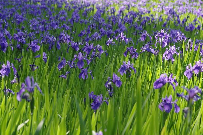 """国の天然記念物にも指定されている大田の沢の""""カキツバタ群落""""は、平安期には和歌に詠まれ、尾形光琳の『燕子花図屏風(かきつばたずびょうぶ)』のモチーフになったと伝わります。"""