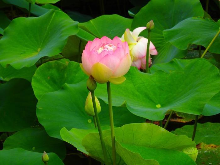 智積院では、金堂右手「明王殿」の傍らの池で、風雅な蓮の花も楽しめます。【画像は、ふんわり丸く咲き開く「大賀ハス」。】
