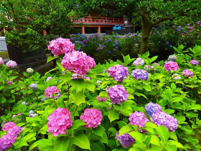 """「智積院」は緑深い中に、金堂や明王殿、大師堂等など、二十余もの堂塔伽藍を抱く大寺院です。長谷川等伯一門の障壁画や""""利休好みの庭""""があるとしてもよく知られています。【金堂裏手に咲き乱れる紫陽花】"""