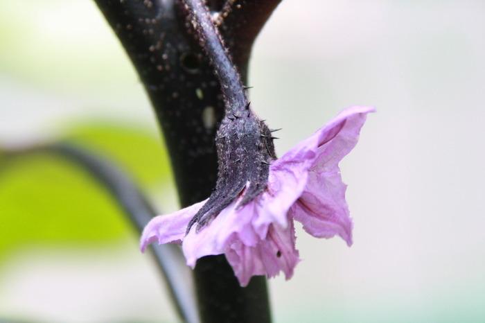 紫の綺麗な花が咲いた瞬間、とっても嬉しい気持ちになれるナス。ナスの花の色は儚げでとても綺麗ですよね。