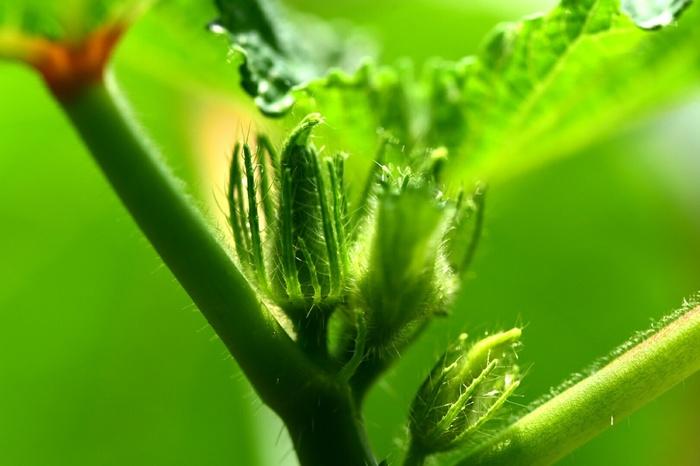 これからの季節に重宝するオクラ。オクラは上に向かって生えるってご存知でしたか?