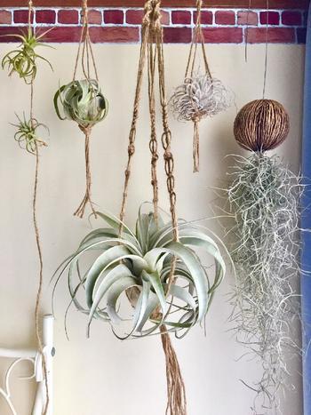 なんと、エアプランツをダイレクトに飾るアイデアも!紐の編み方や長さに変化をつけることで、立体感がでて存在感が増しています。