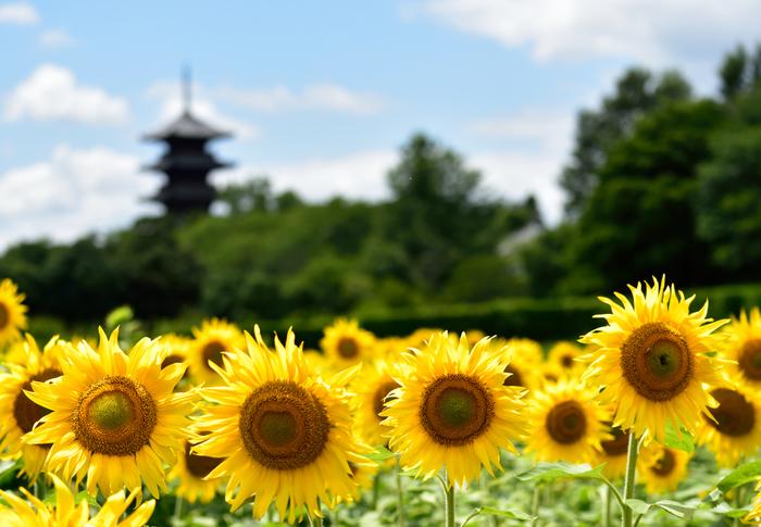 国分寺周辺では、四季折々に花が咲き開きます。菜の花に梅。桜に水仙。桃にレンゲ。向日葵に秋桜と、凡そ一年を通して楽しめます。【画像は、7月が見頃の向日葵。】