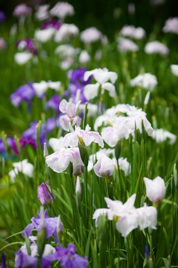 花色は様々で、紫や白の他、黄色やピンク等もあり、花姿も多様です。古典園芸植物として、古くから品種改良が重ねられてきたため、その数は5,000種を下らないと云われる程に、多くの品種があります。【「勧修寺」に咲く花菖蒲】