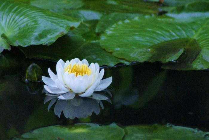 観光客が比較的少ない「勧修寺」は、のどやかな散策を楽しむ方に、お勧めの花の名所です。【氷室池に咲く睡蓮】