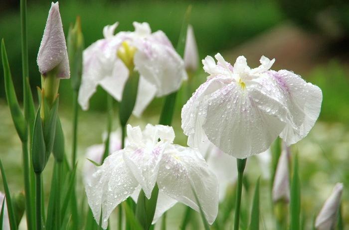 """「花菖蒲」は、""""*アヤメ""""と呼ばれることがありますが、アヤメと花菖蒲は異なる植物です。また先述の杜若とも良く似ていますが、同じ植物ではありません。(*花菖蒲をアヤメと呼称するのは間違いではありません。)【「勧修寺」に咲く花菖蒲】"""