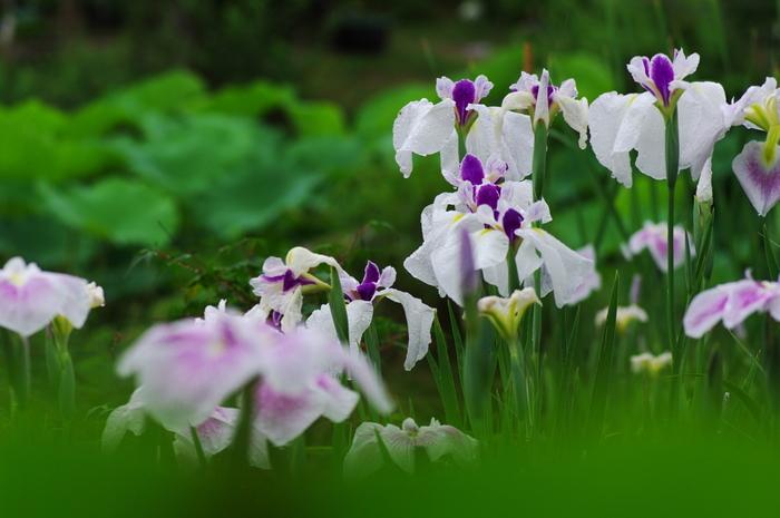 「蓮の花」が開花する前は、花菖蒲や杜若、紫陽花が庭園を彩ります。【画像は、花菖蒲。背景の緑は蓮の葉。】