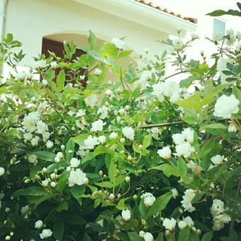 家の外壁とやさしい白色のモッコウバラが好相性ですね♪