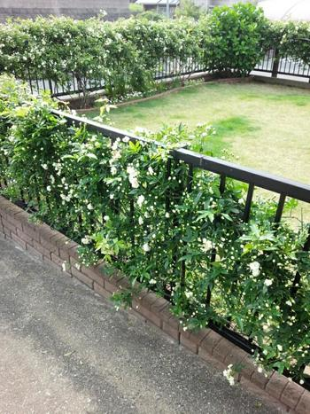 モッコウバラは庭全体のフェンスに絡めて。今はちらほらと咲いている状態ですが、満開の時は迫力ある風景になるんだそう。常緑なので花が咲いてない時もフェンスを美しく彩ってくれます。