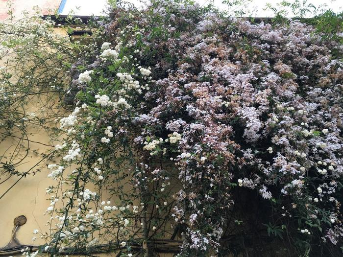 モッコウバラと羽衣ジャスミンの共演!他の花と一緒に這わせるとお互いの美しさを引き立てあって綺麗ですね。