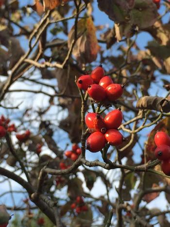秋が深まると鮮やかな橙色に色づき、沿道などでパッと目を引くハナミズキ。小豆大のやや細長い実が特徴です。