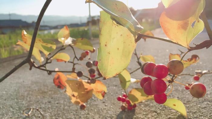 ツルの先に小さな赤い実をつけるサンキライ。葉っぱとの美しい色の対比を楽しんで。