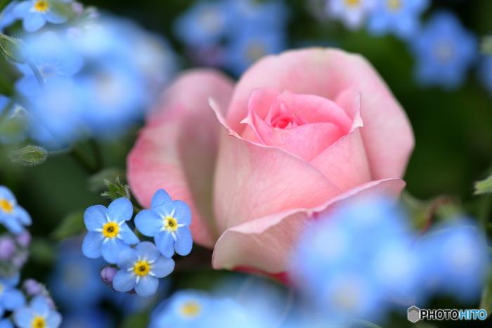 やはり一番はロマンチックなバラです。1本植えるだけでも主役級の存在感を放つのがさすがバラといった感じです。