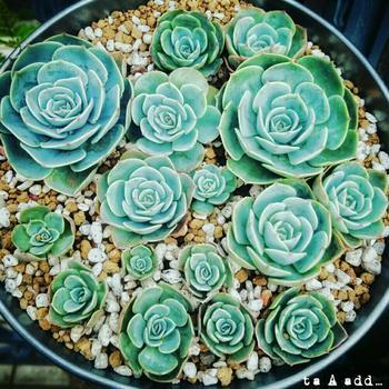 七福神というなの多肉植物。 バラのような見た目で、とってもゴージャス。  お気に入りの多肉ちゃんを探してみてはいかがでしょうか?