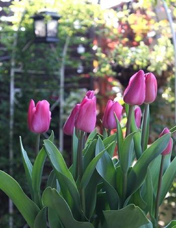 春先はチューリップを。