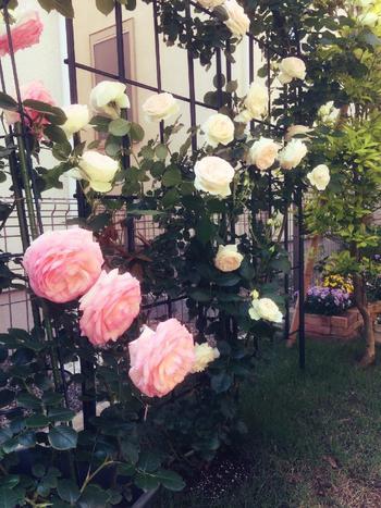 こちらはつるバラ。壁に沿わせたりアーチを作る。空間に一気にひろがりが出ます。バラは慣れてしまえばとても上手に育てられますよ。