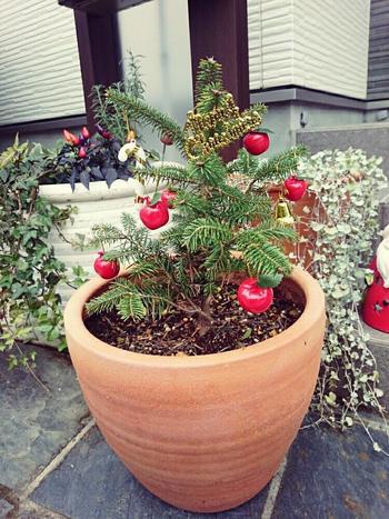 小さいもみの木はクリスマスシーズンでなくても玄関に一本あると締まります。 シンボルツリーとして一本あってもよいでしょう。