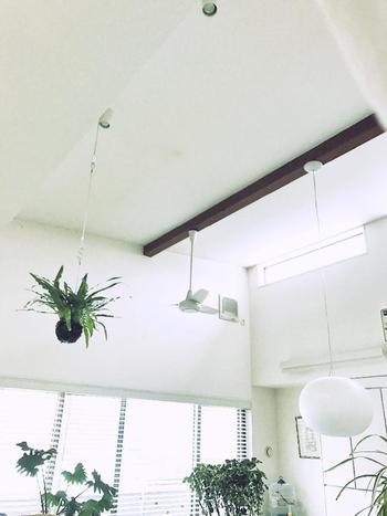 天井の高い空間などに吊るすと素敵ですね。吊り苔玉は、麻ひもなどを苔のまわりに巻いたり、麻袋に入れて吊るしたりするようです。大小さまざまな苔玉をランダムに吊るすのも面白そう♪