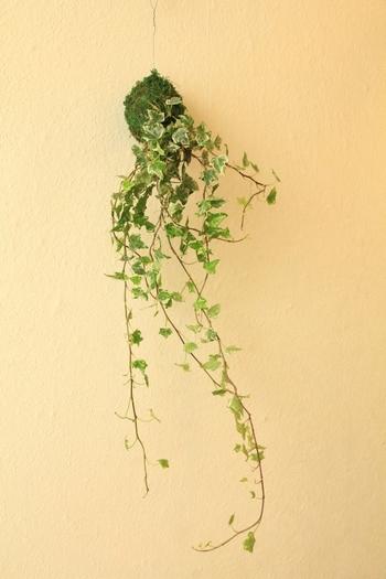 下垂タイプの植物を苔玉にすれば、こんなおしゃれな飾り方ができます。こちらは、アイビーの苔玉。背景がシンプルだと、より素敵な雰囲気が生まれますね。