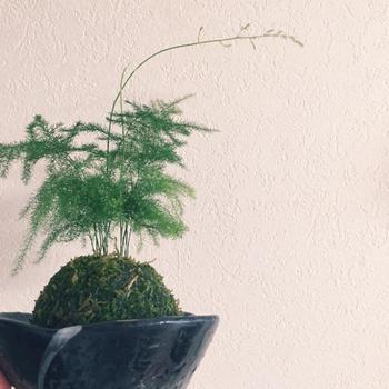 コバエなどが発生する場合は、根腐れを起こしているかも。その場合は、一度苔玉をばらして根腐れしている部分を切り取り、新しい土に植えます。