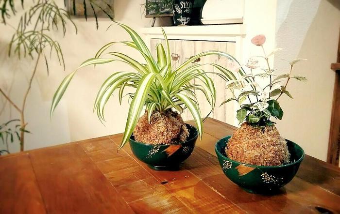 植物が育って、根を張る場所がなくなると根づまりを起こして枯れる原因になります。そこで、2~3年に1回は苔玉の植え替えをします。植え替えの時期は、植物の生育がさかんな春がおすすめ。