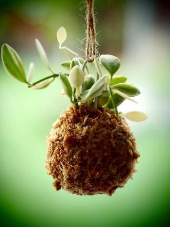 苔玉は、基本的には霧吹きで水をかけるだけの簡単な世話で大丈夫。乾燥しすぎると水を与えてもはじいてしまうので、苔が乾いてきたら霧吹きで水分をあげましょう。季節でいうと、春・秋は週2~3回、盛夏は毎日、晩秋・冬は週1回程度の水やりでいいようです。なお、室内は乾燥しやすいので水やりの回数を少し増やすなど調整しましょう。