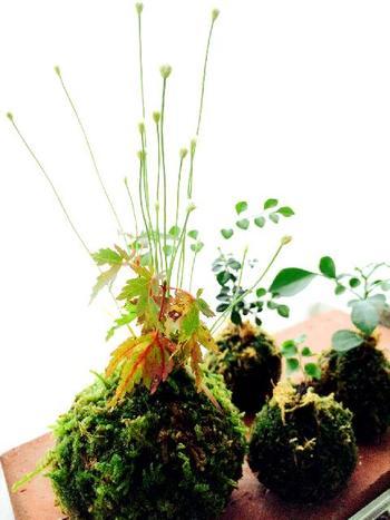 苔に肥料は必要ありませんが、中の植物を育てるには必要になる場合も。与えすぎると根腐れを起こしますので、かなり薄めの液体肥料などを1~2週間に1回ほど与える程度に。また、肥料を必要としない植物を植えるのもおすすめです。